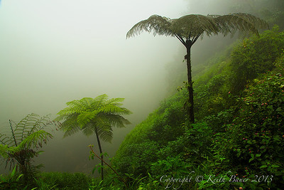 Ferns in the Fog